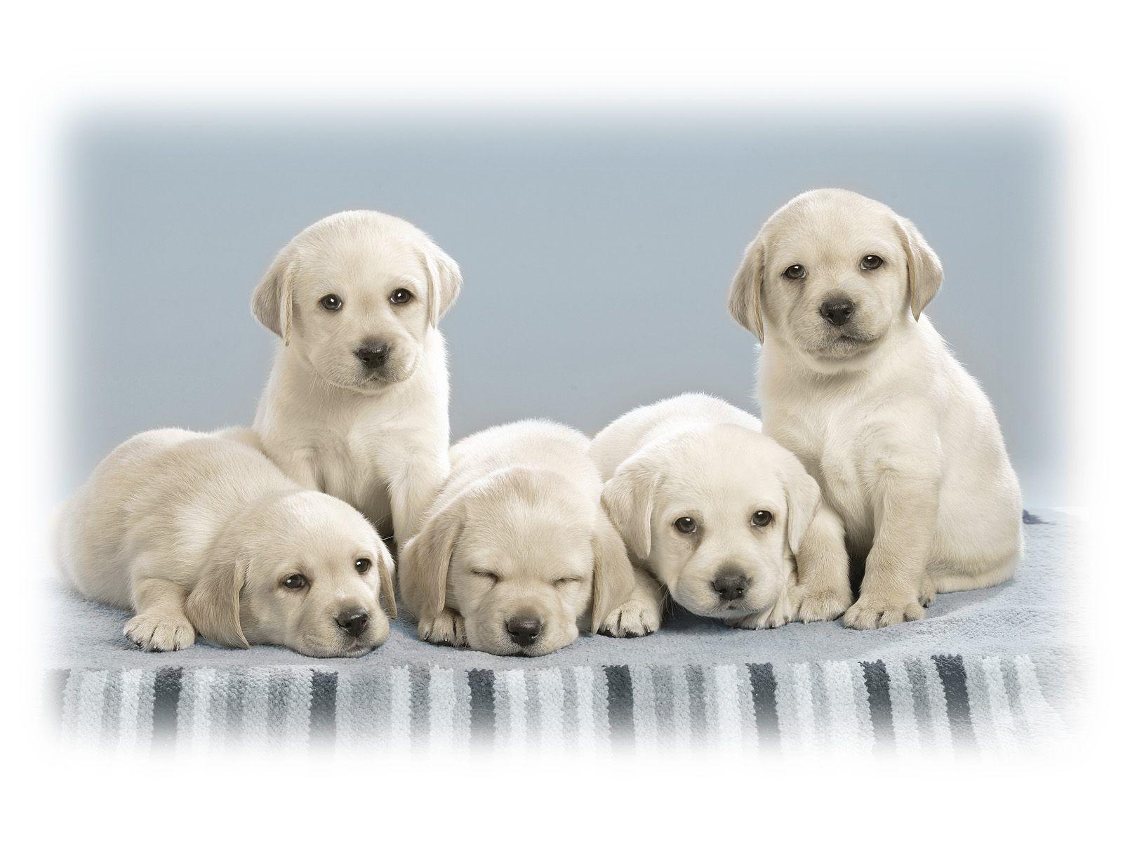 Free Puppy Wallpapers For Computer Wallpaper