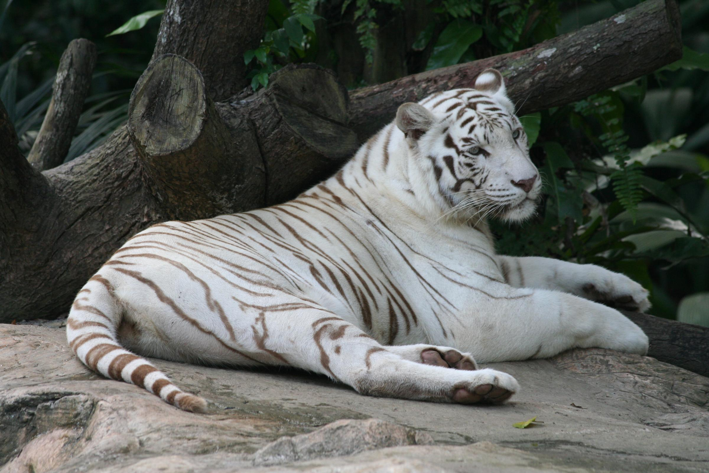 wallpaper hd white tiger - photo #18