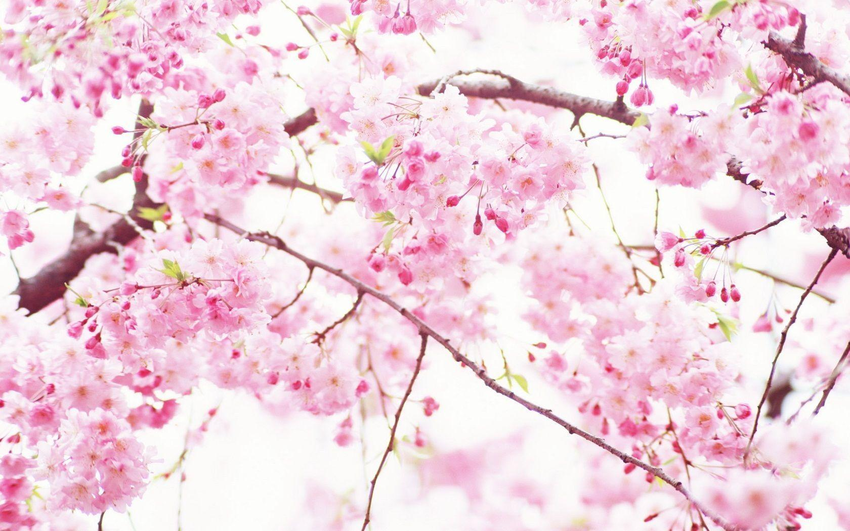 Sakura flower wallpapers wallpaper cave pink sakura flowers 12141 good mightylinksfo