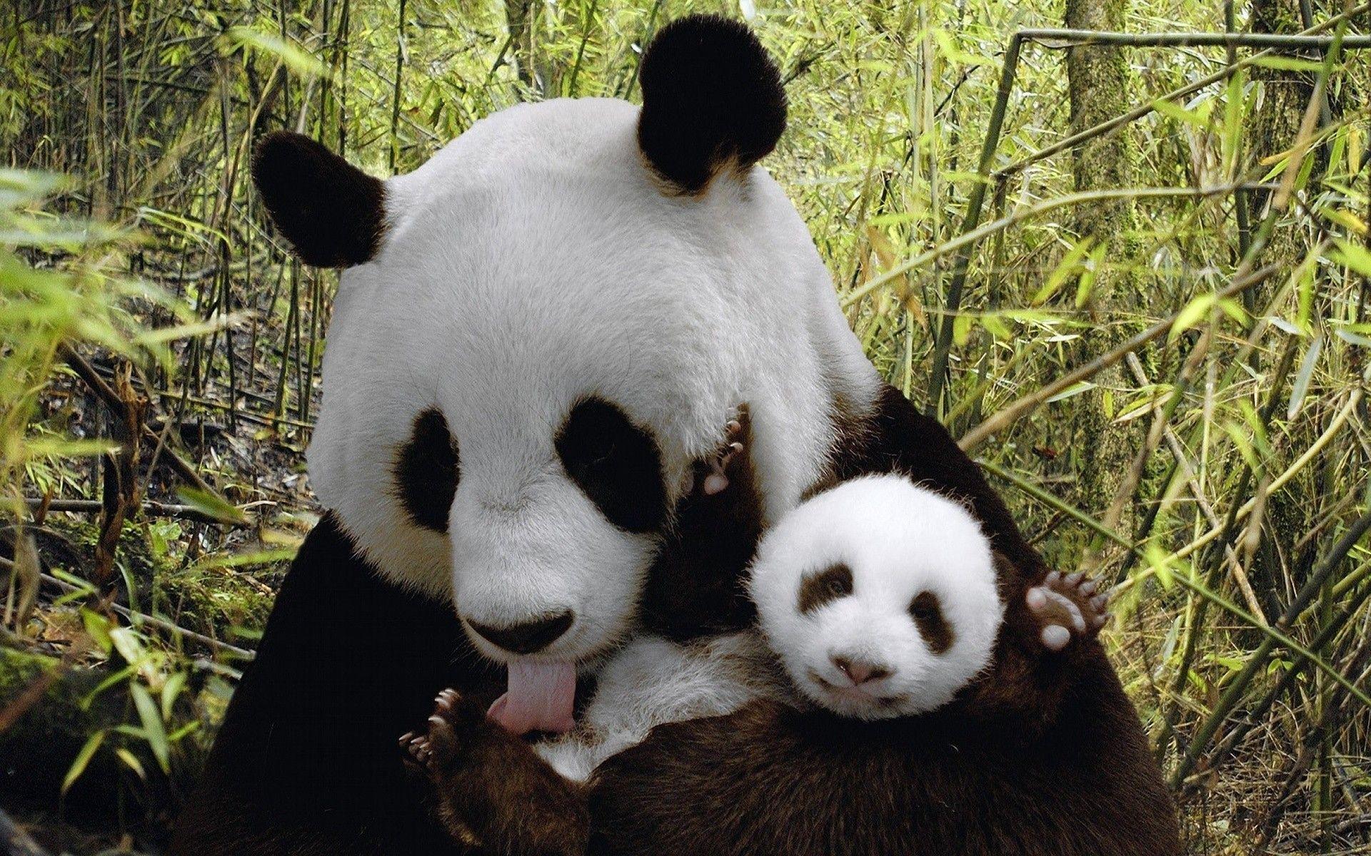 Baby Panda Wallpapers - Wallpaper Cave