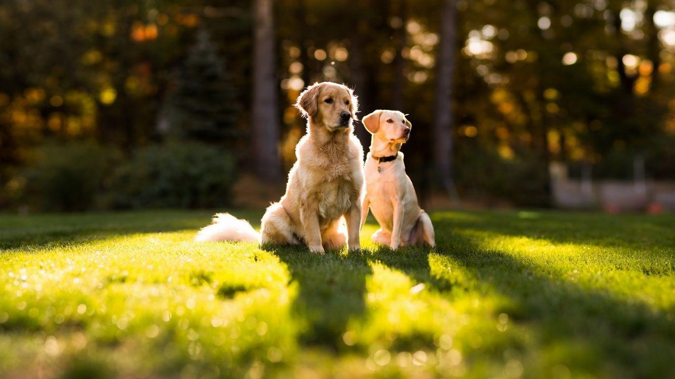 Golden Retriever Wallpapers, HD Images, Free Dogs Wallpapers
