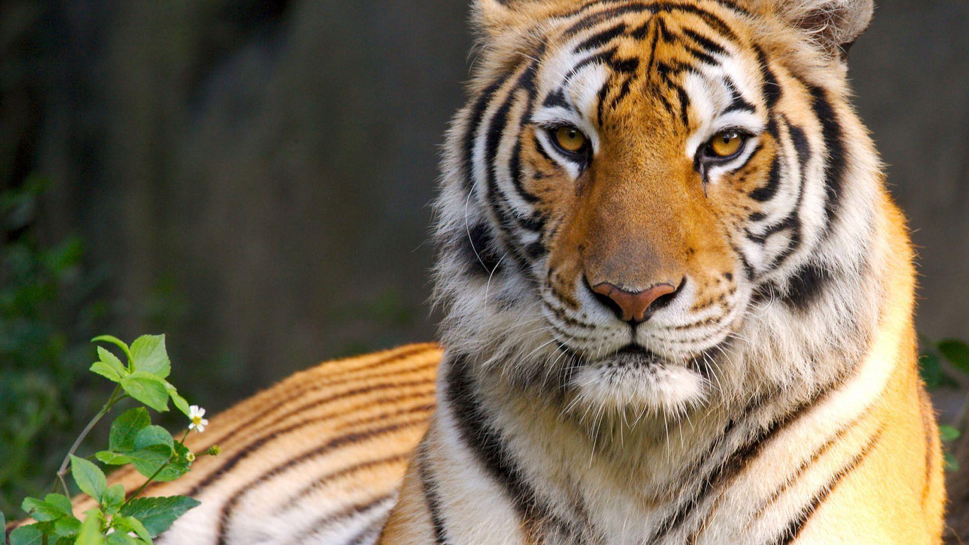 White Tiger Wallpaper 1080p Tiger HD Wallpa...