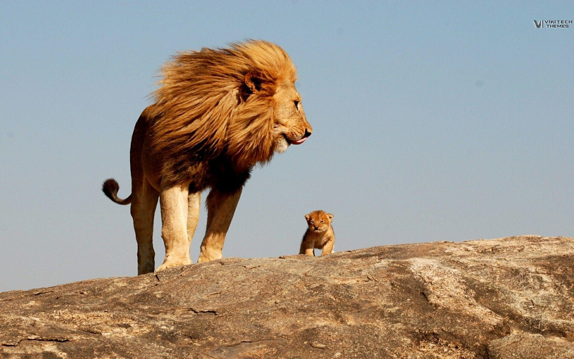 Lion, king, safari, savage wallpapers and image