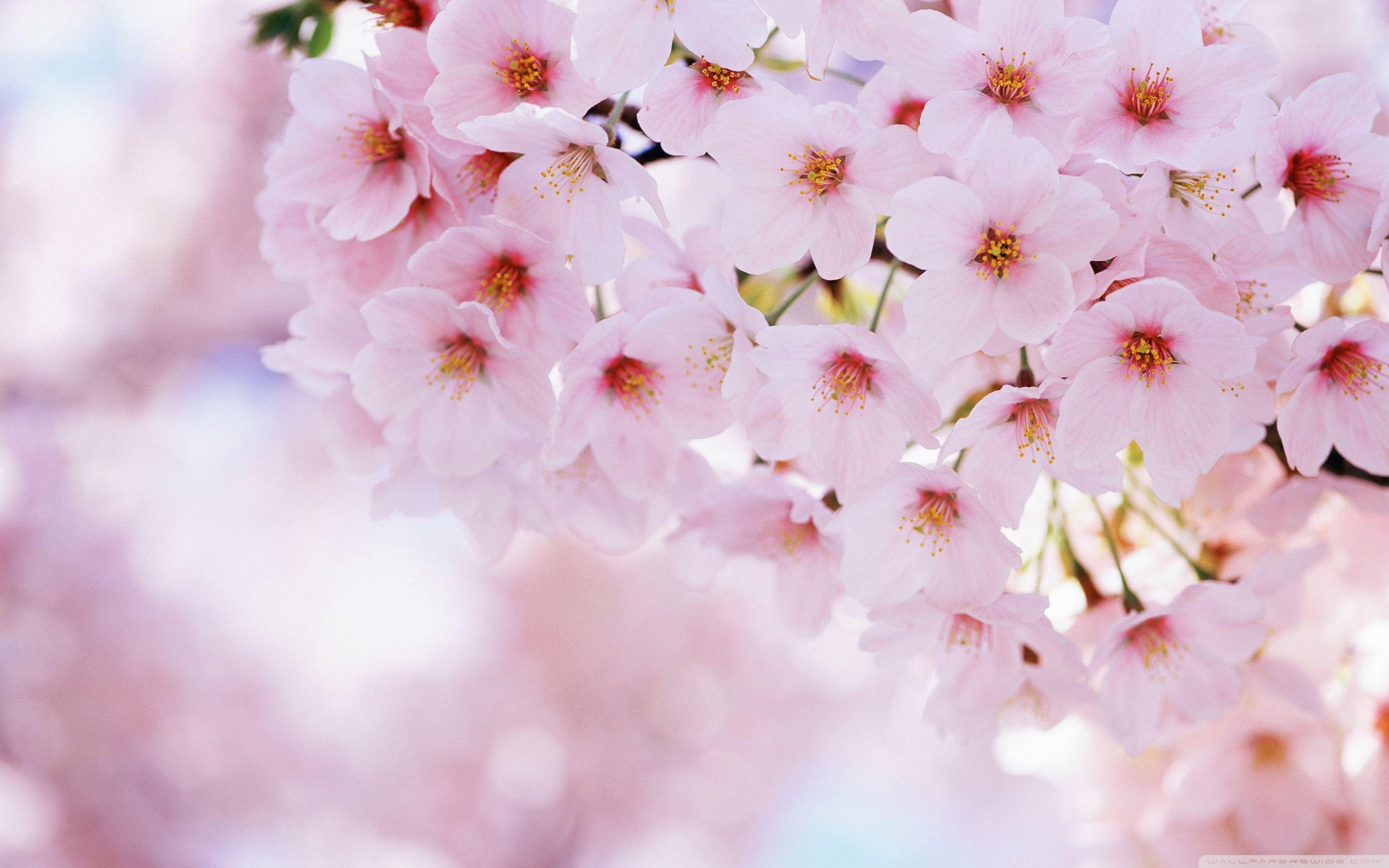 cherry blossem tree background wallpaper - photo #32