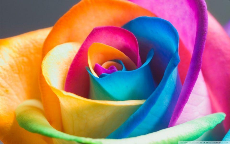 Awesome Rainbow Rose Macro Wallpaper High Resolution Image ...