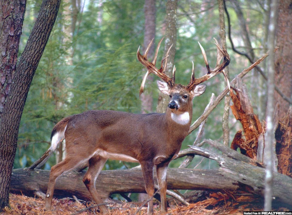 whitetail deer White-tailed deer, the smallest members of the north american deer family, are  found from southern canada to south america in the heat of summer they.