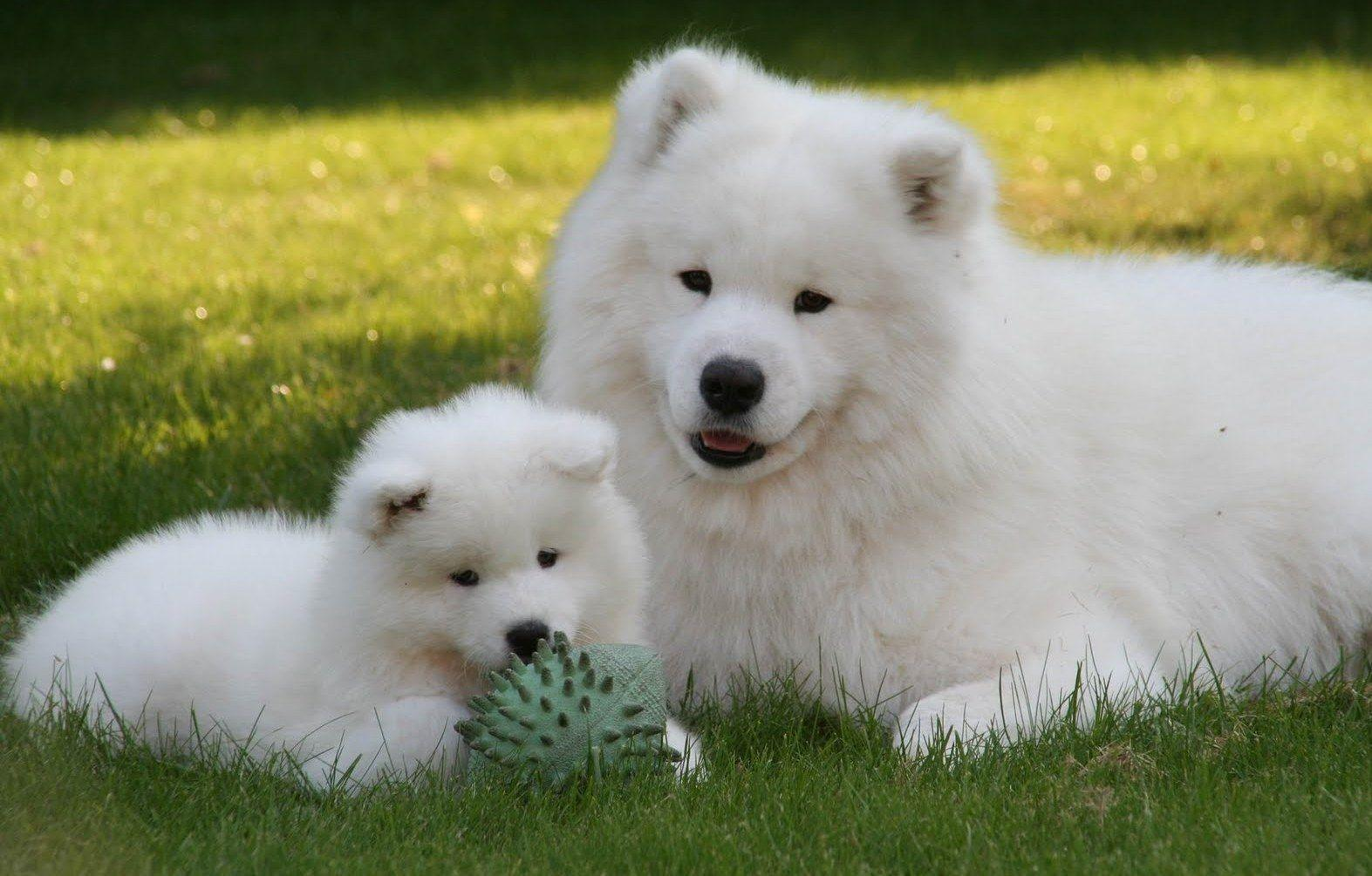 Samoyed wallpapers wallpaper cave siberian samoyed 15731005 high definition wallpaper background voltagebd Image collections