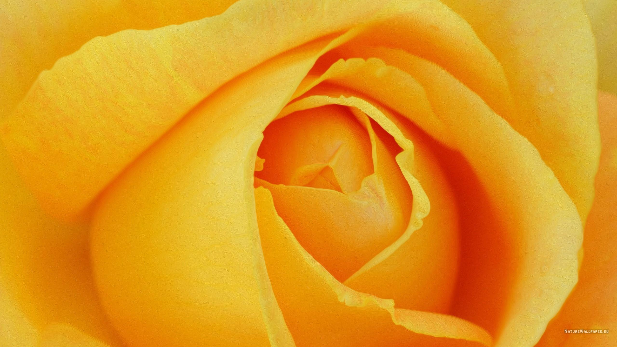 Yellow Rose Backgrounds Wallpaper Cave
