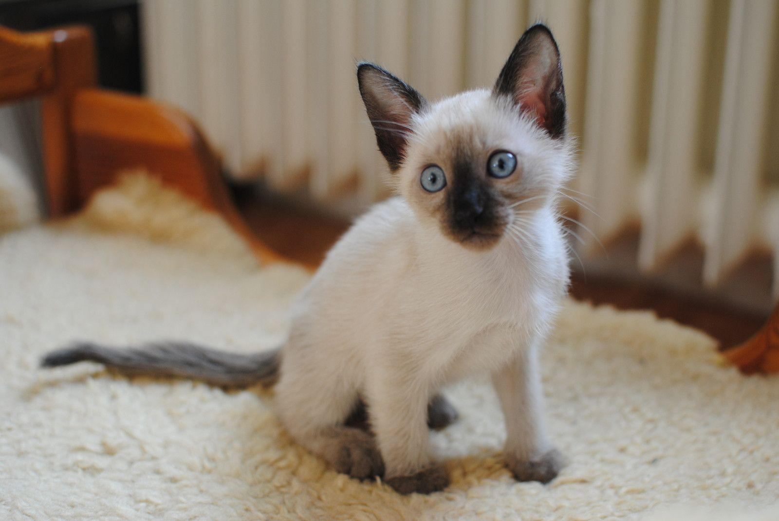 siamese x ragdoll kittens - photo #33