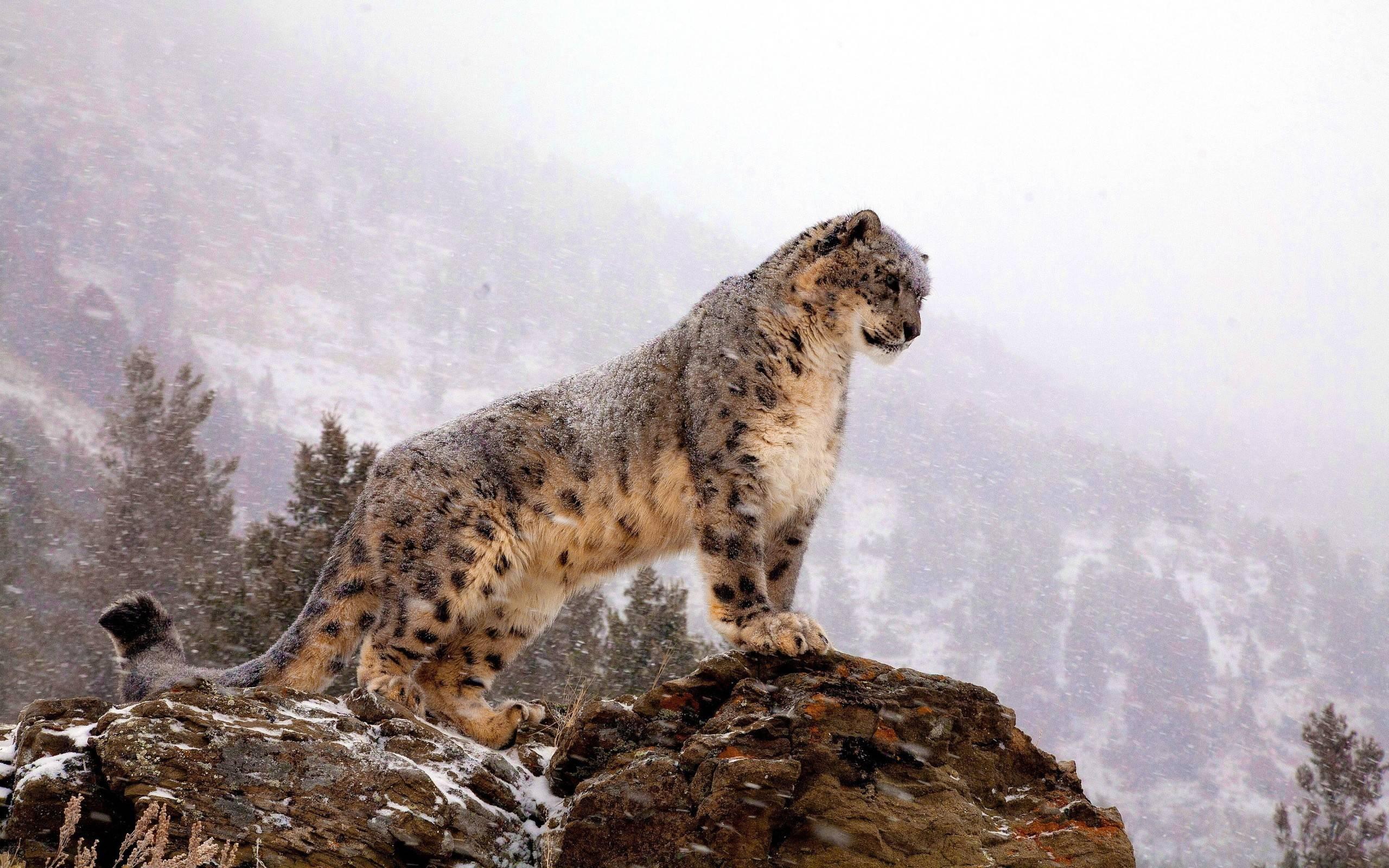 white cheetah wallpaper hd - photo #42