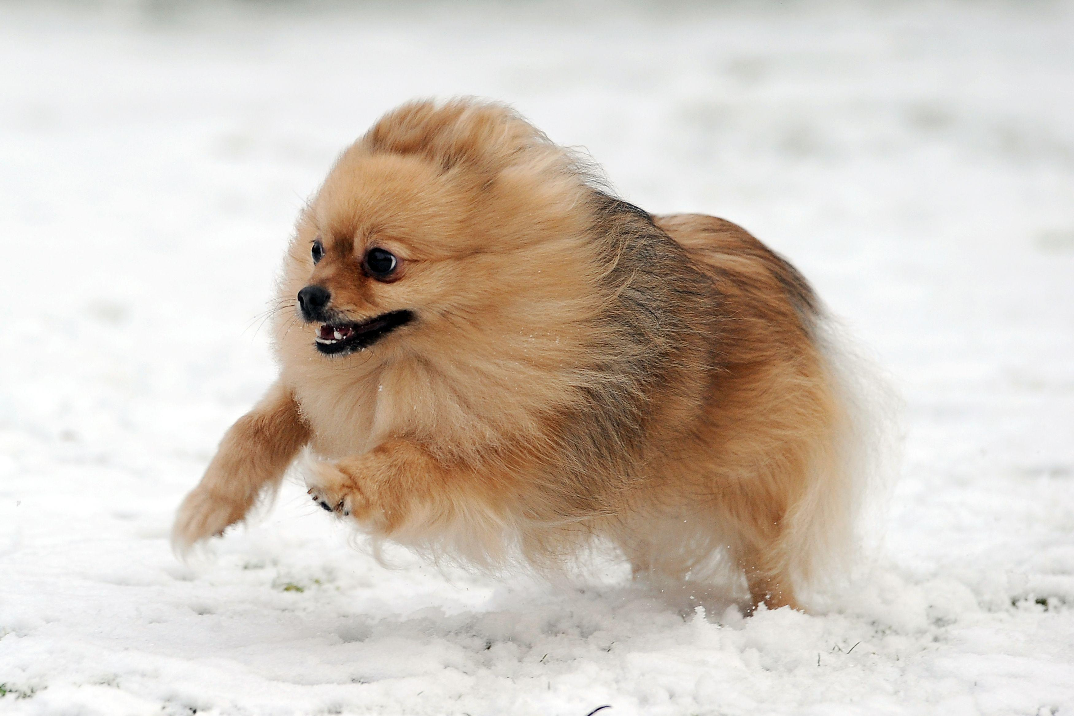 free pomeranian puppy wallpaper - photo #5