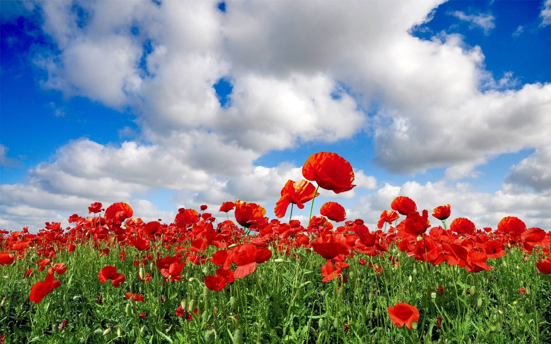 most downloaded poppy wallpapers full hd wallpaper search
