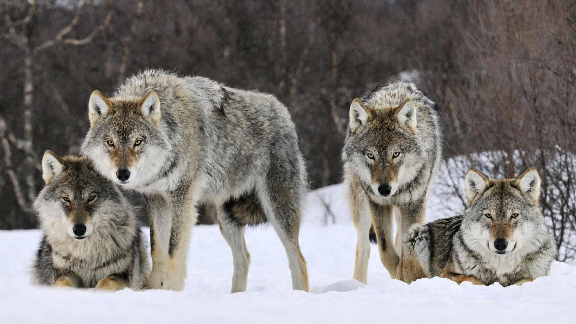 wild wolf pack wallpaper - photo #19