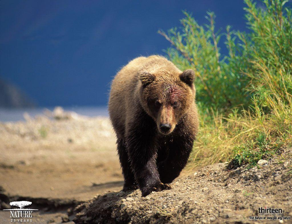 grizzly bear wallpaper - Animal Backgrounds