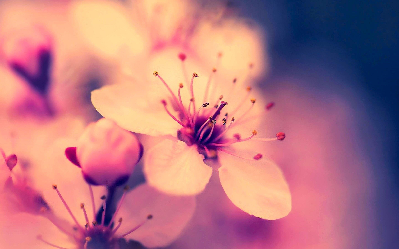 Sakura Flower Wallpapers - Full HD wallpaper search