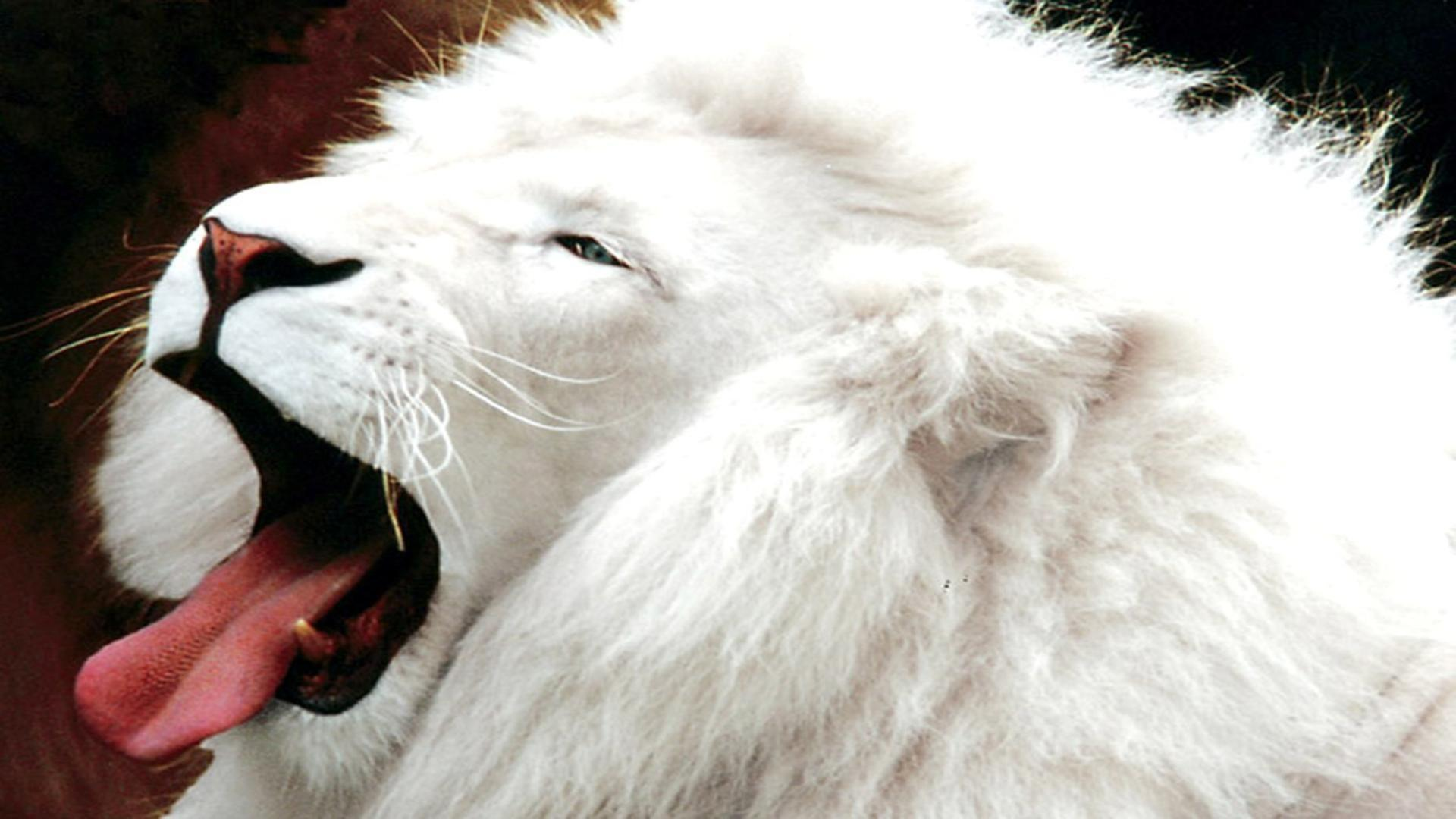 White Lion HDR Teme Free Desktop Background