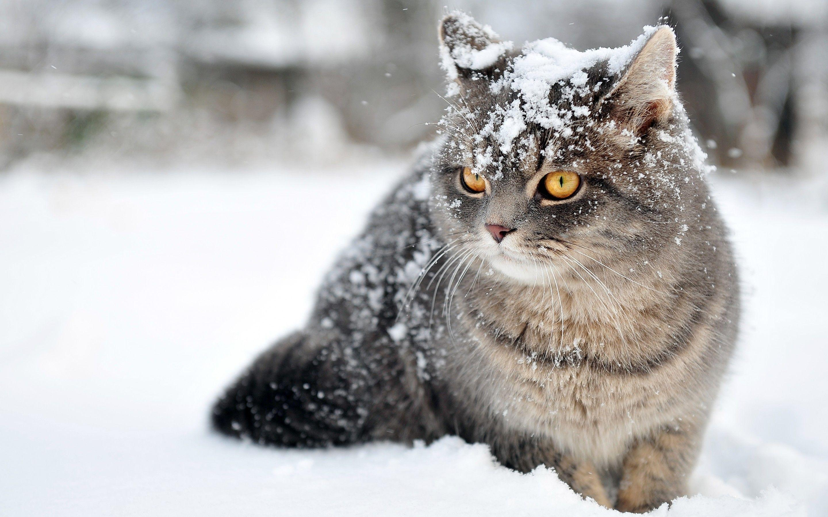 Winter Cat Wallpaper, Animals Wallpaper, hd phone wallpapers