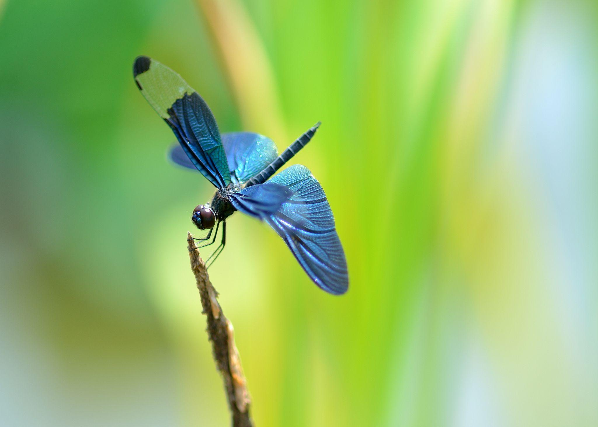 dragonfly wallpaper for android