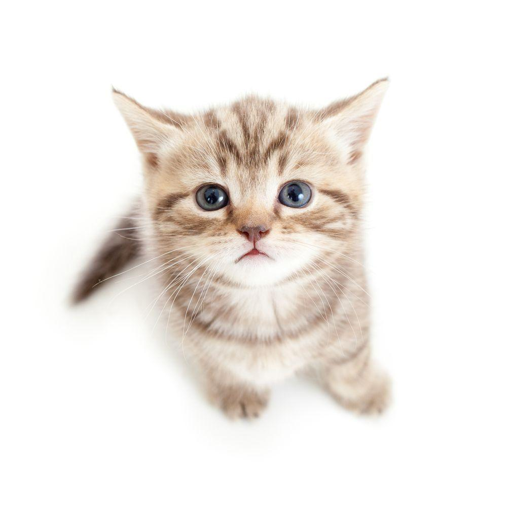 cat white backgrounds wallpaper cave