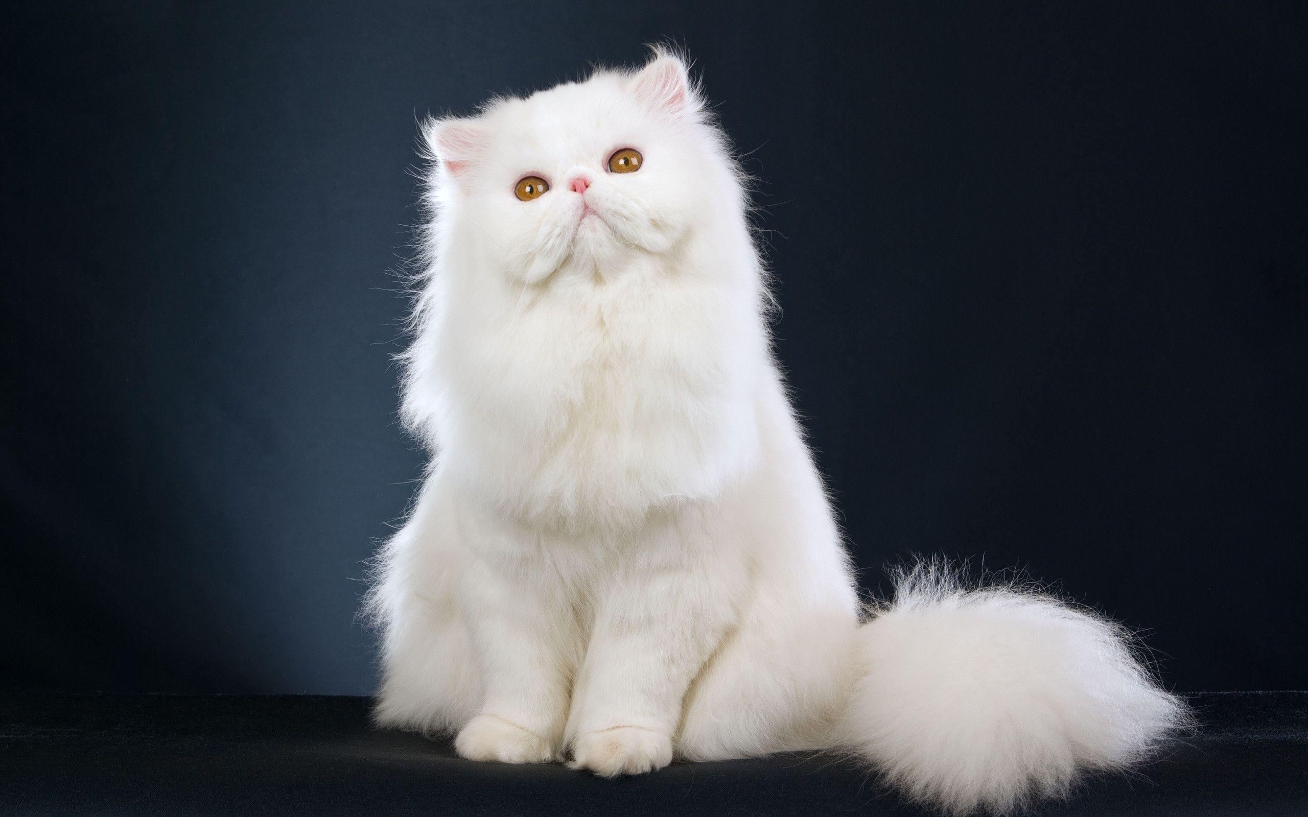 cute white cats hd - photo #34