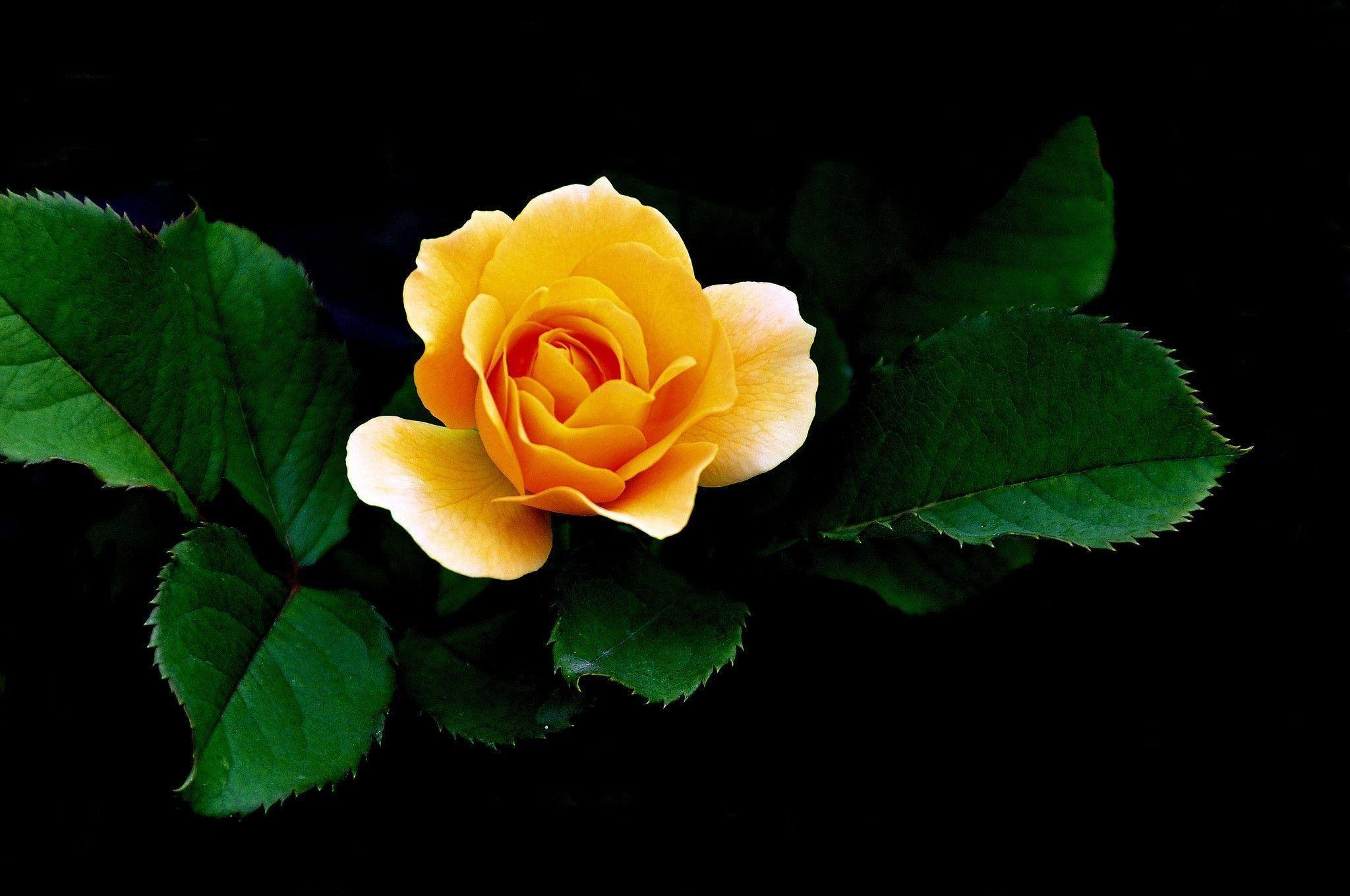 Yellow rose wallpapers wallpaper cave - Yellow rose images hd ...