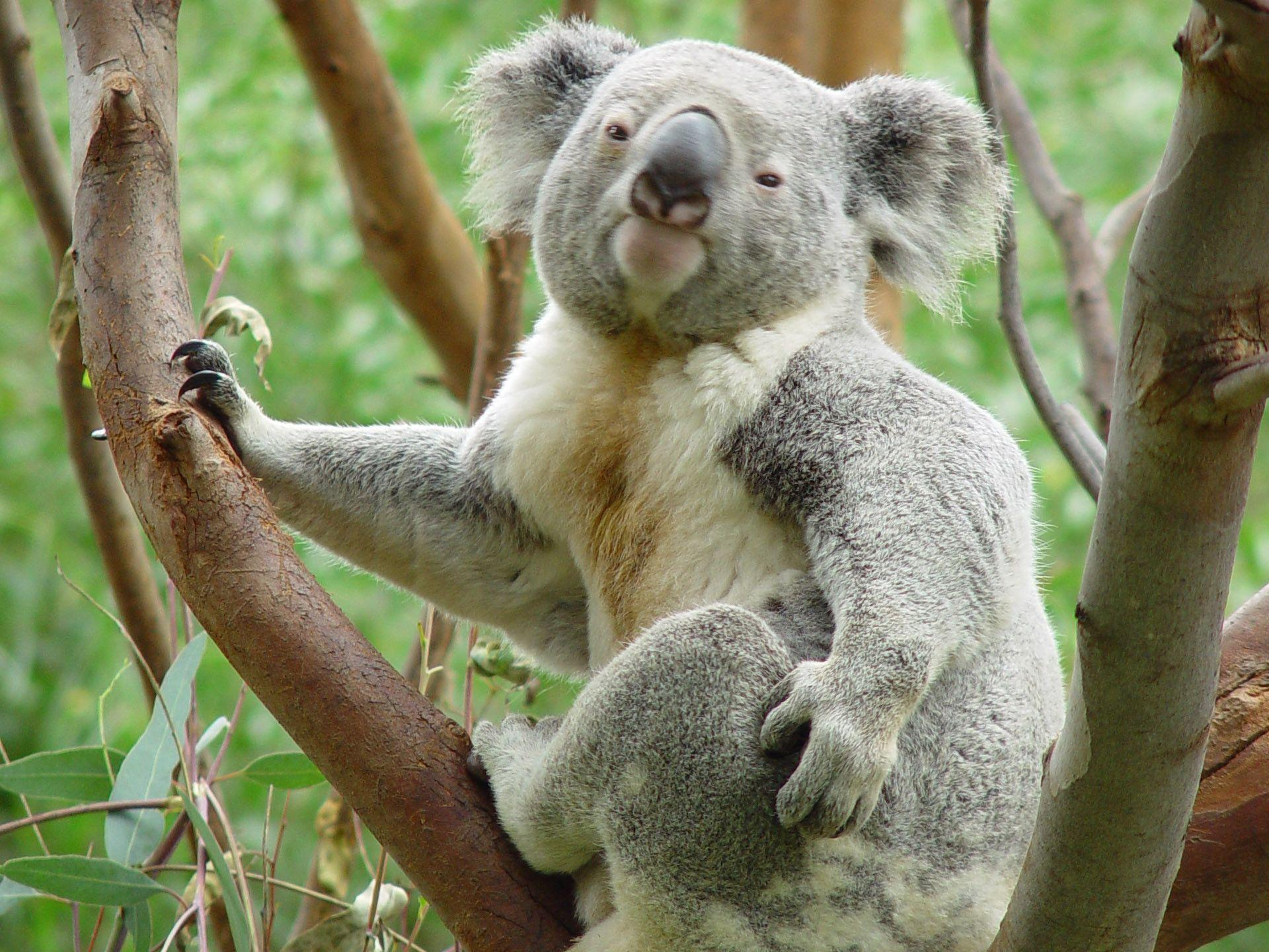 Koala Wallpaper Windows 7 25 Nice Wallpaper 960x800 HD Wallpaper ...