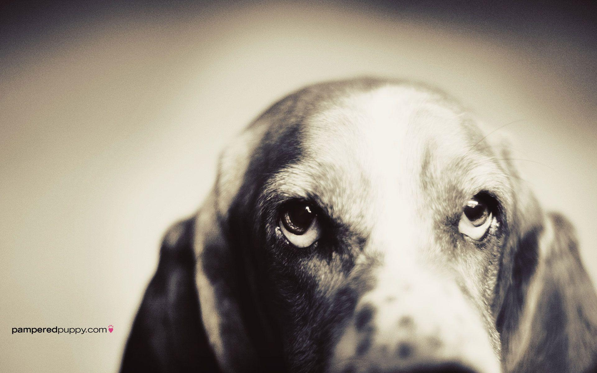 basset hound puppies wallpaper - photo #26