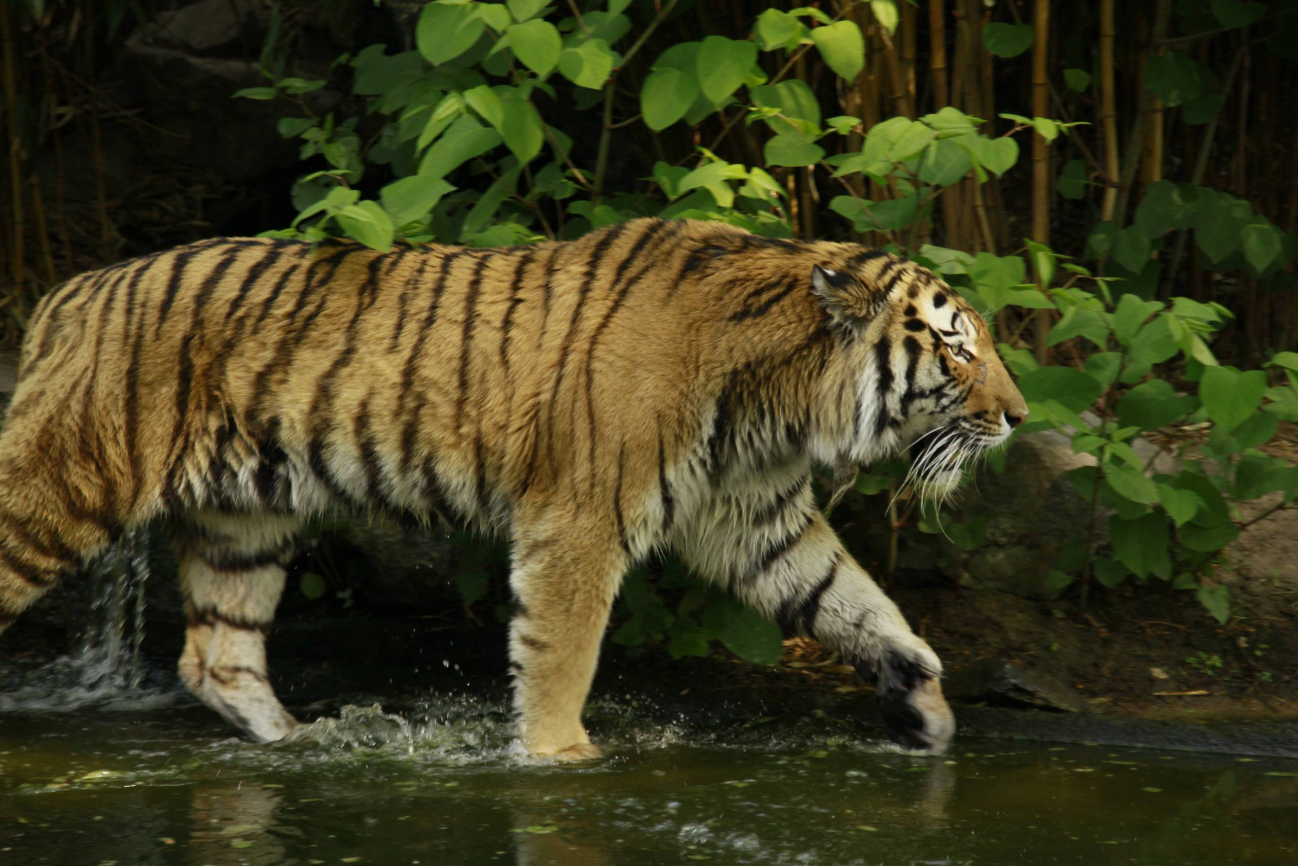 Живые обои для андроид тигр