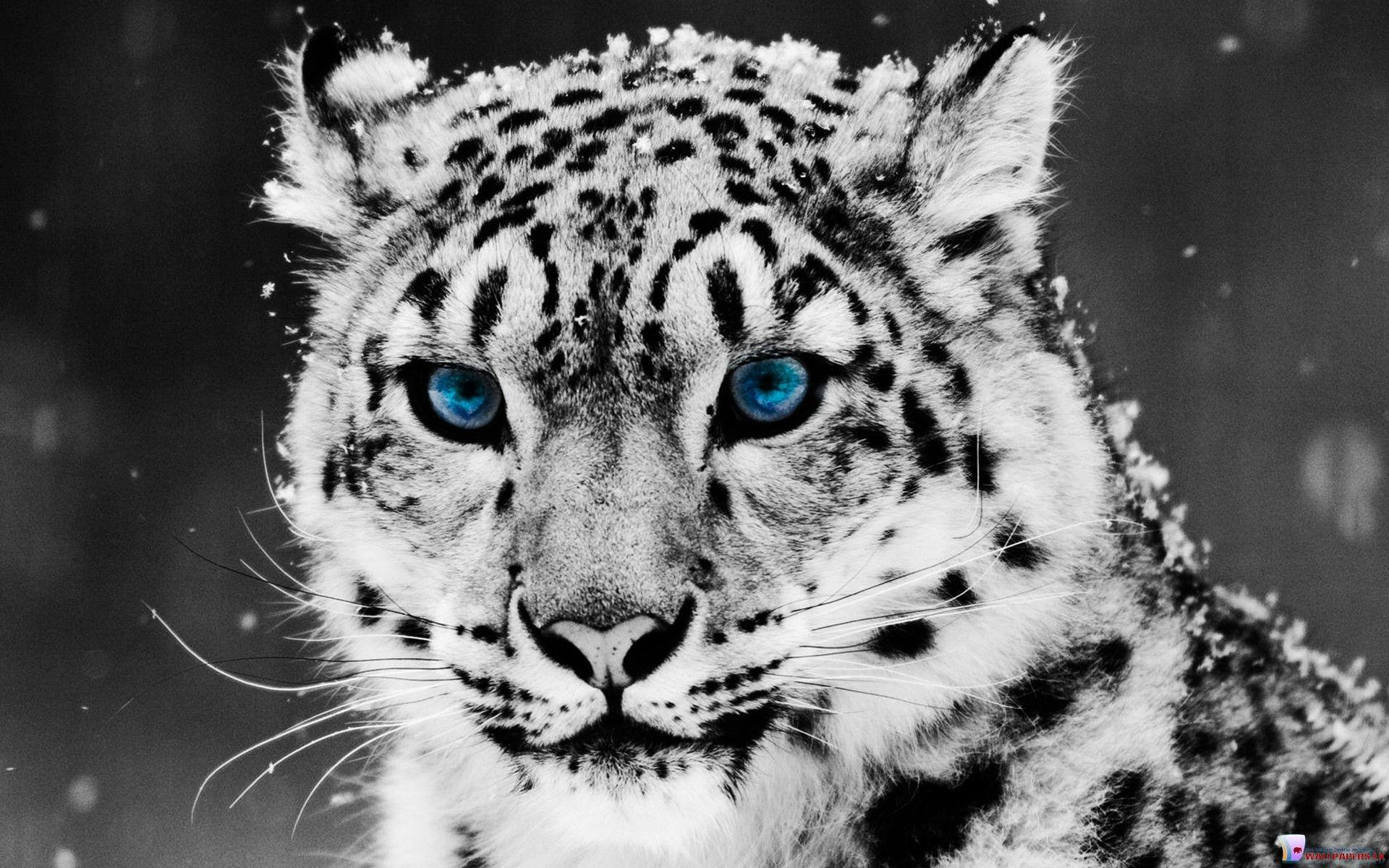 White Tiger Hd Wallpapers Inn