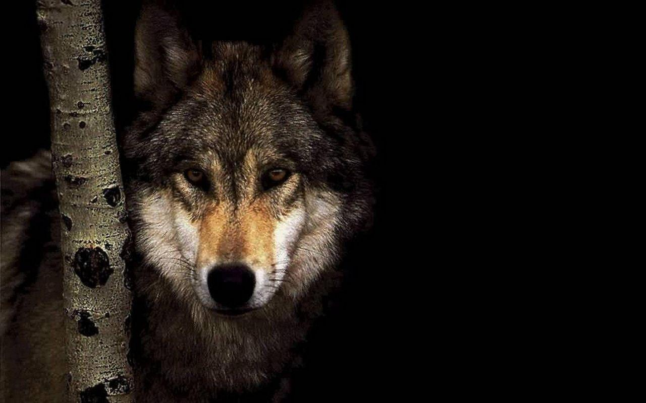 Animals For > Cool Black Wolf Backgrounds