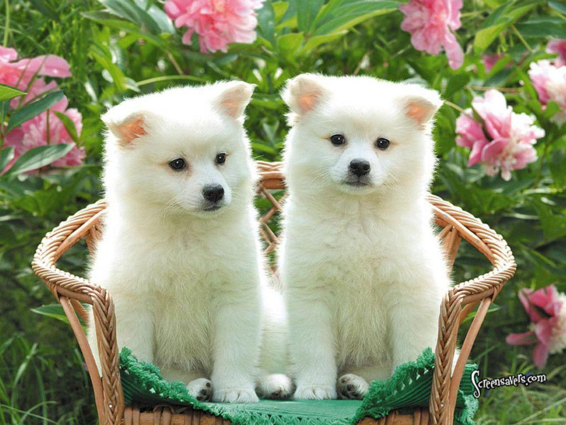 Cute American Eskimo Dog puppies photo and wallpaper. Beautiful