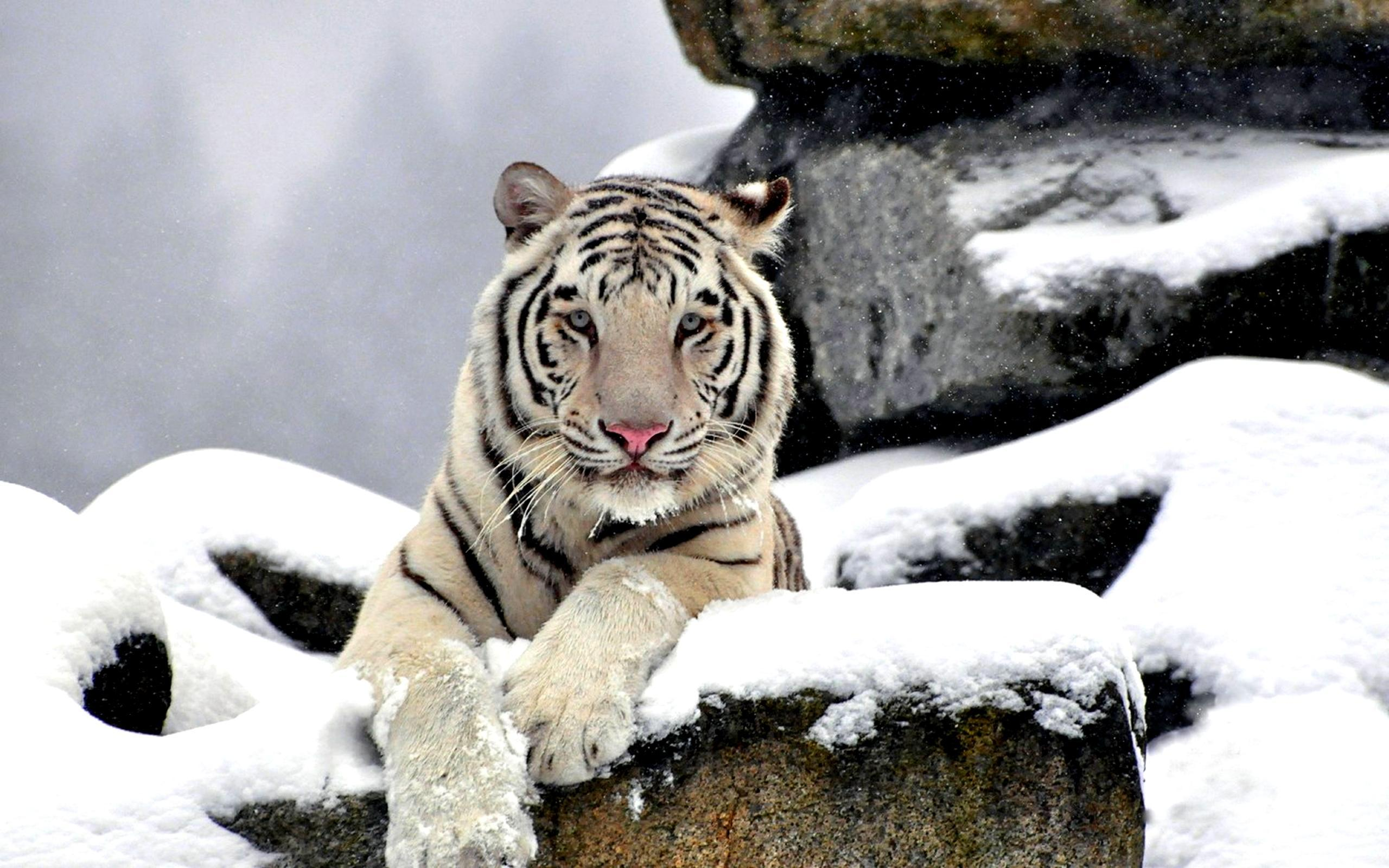 Growling white tiger wallpaper