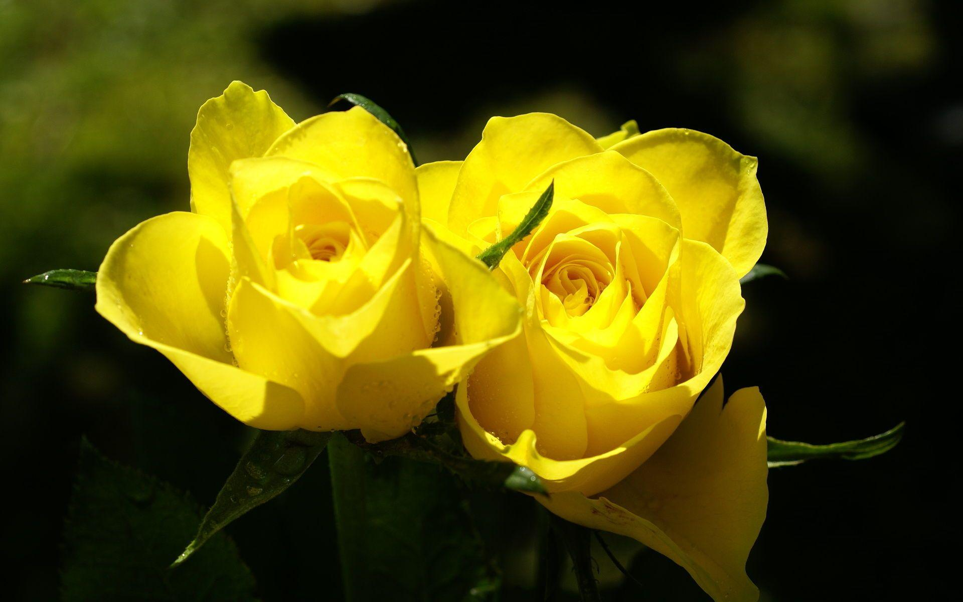 Flowers For Yellow Roses Wallpaper