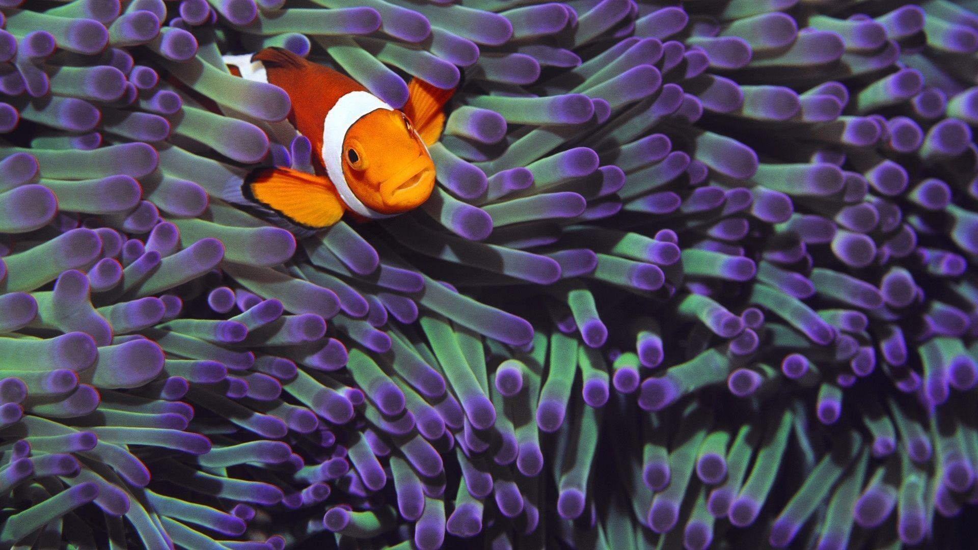 Clownfish Backgrounds Wallpaper Cave