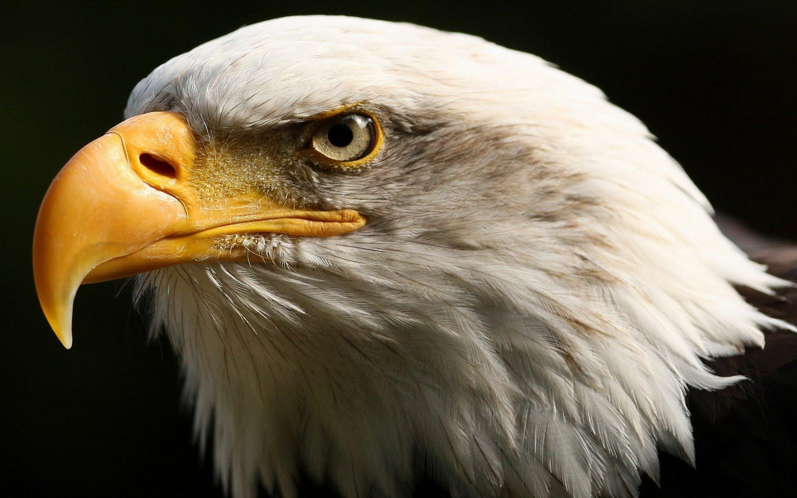 Best Javan Hawk-Eagle Wallpaper Picture #2479 Wallpaper | High ...