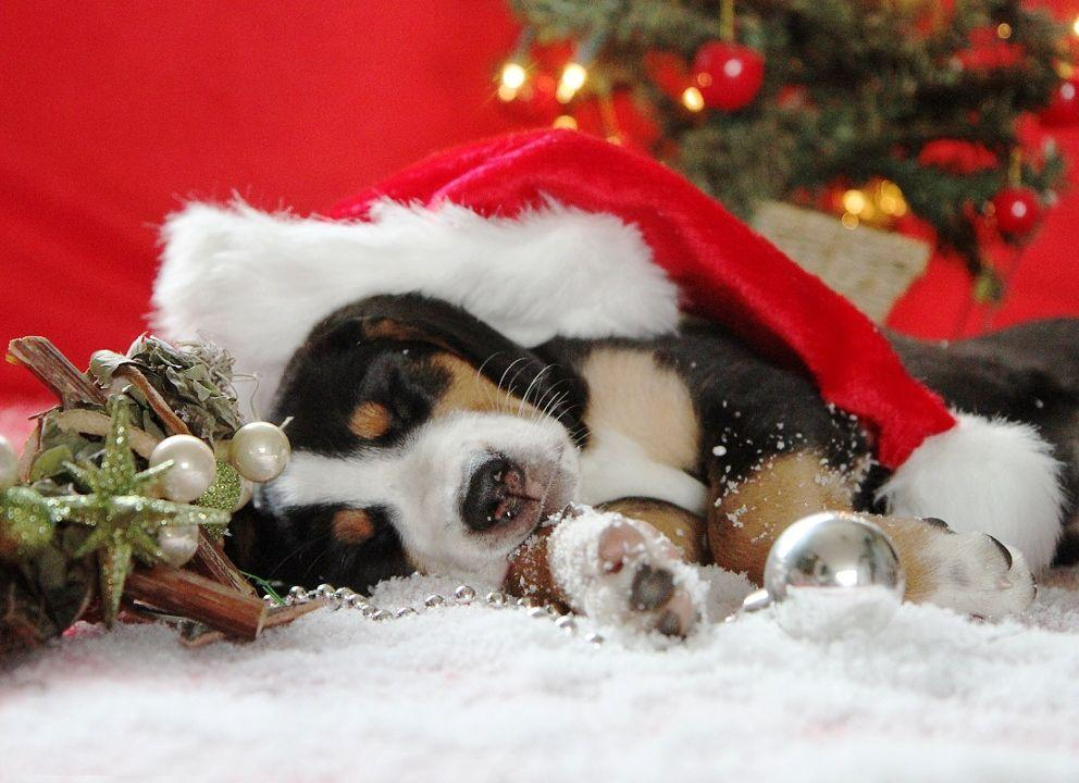 christmas puppy wallpaper - photo #6