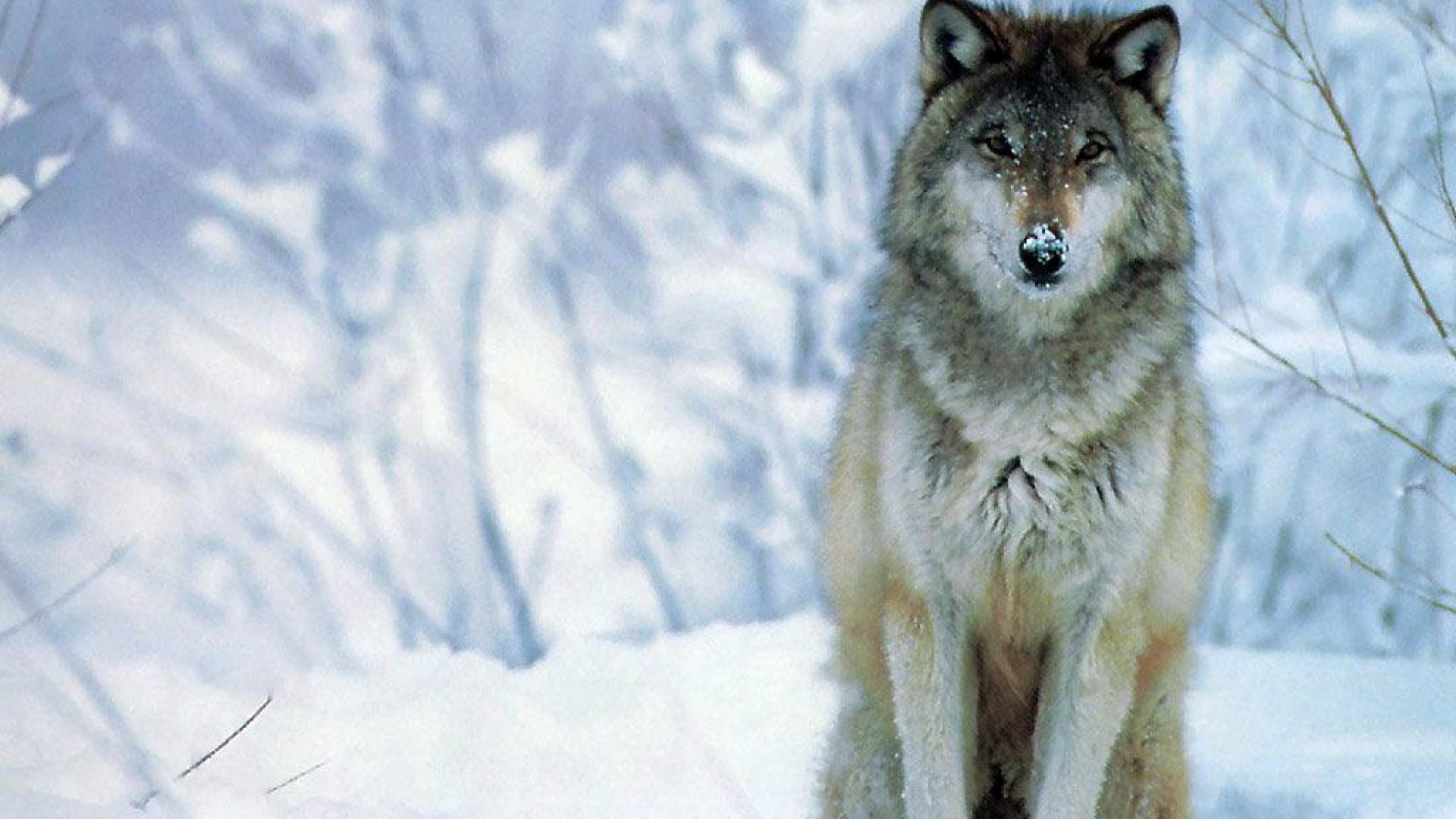 Wolf Snow HD Wallpaper Free Download