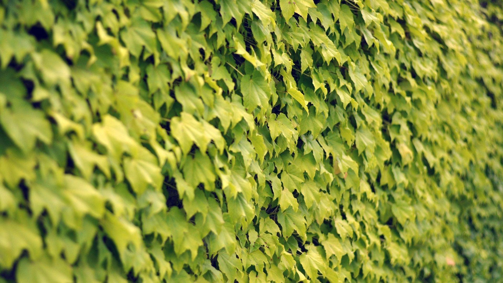 ivy wallpapers wallpaper - photo #11