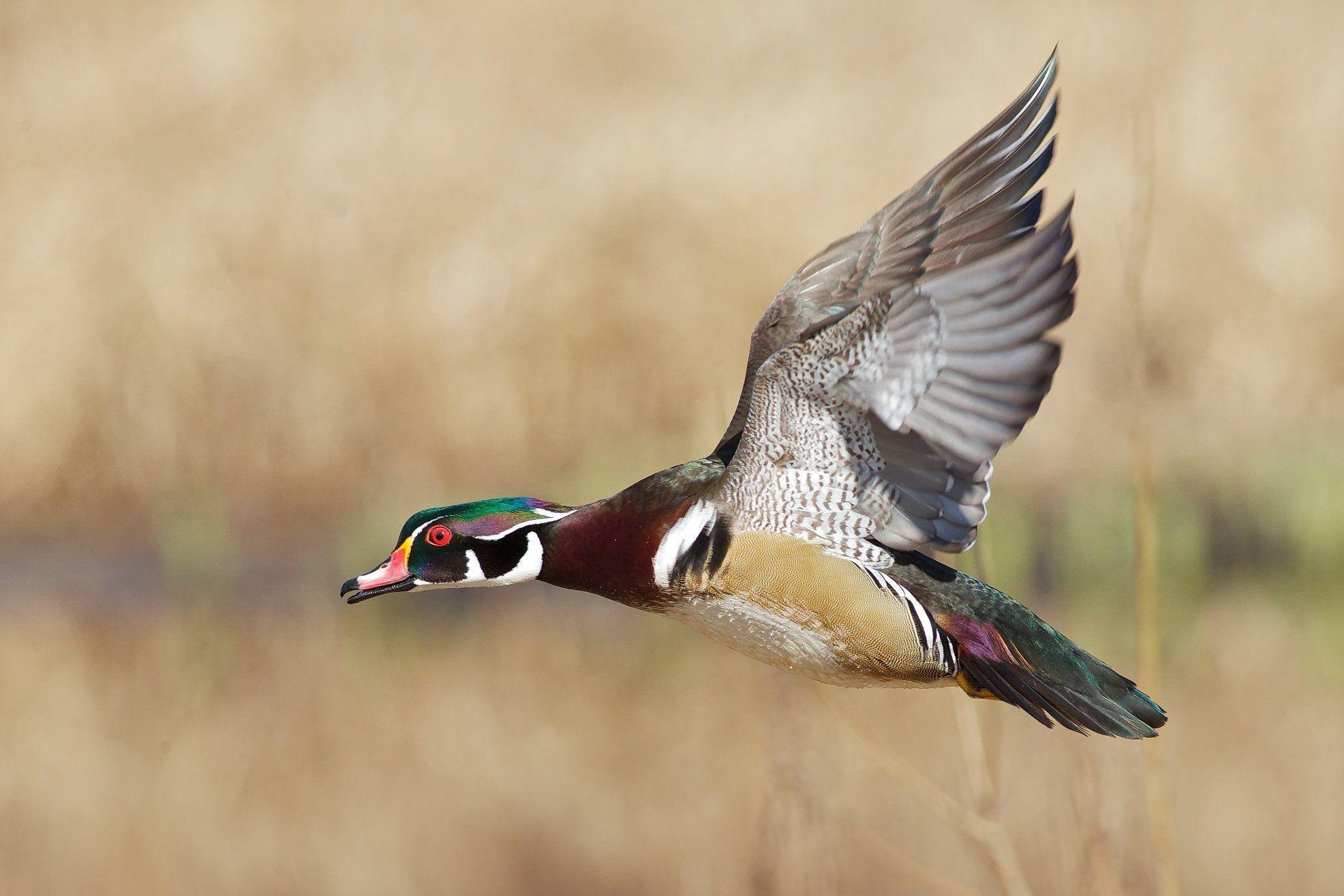 Wood Duck Wallpapers - Wallpaper Cave Wood Ducks Flying