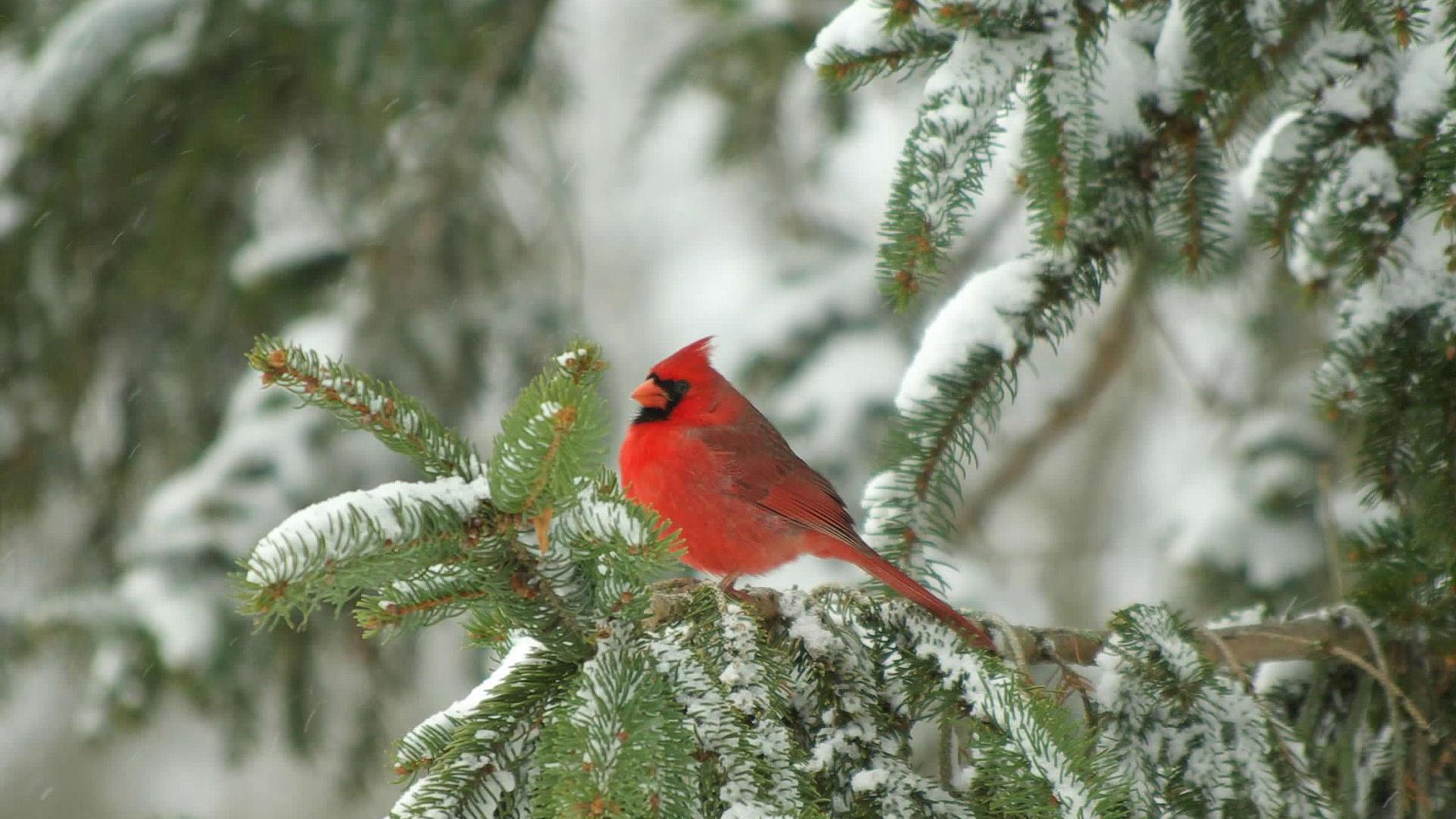 cardinal winter computer wallpaper - photo #34