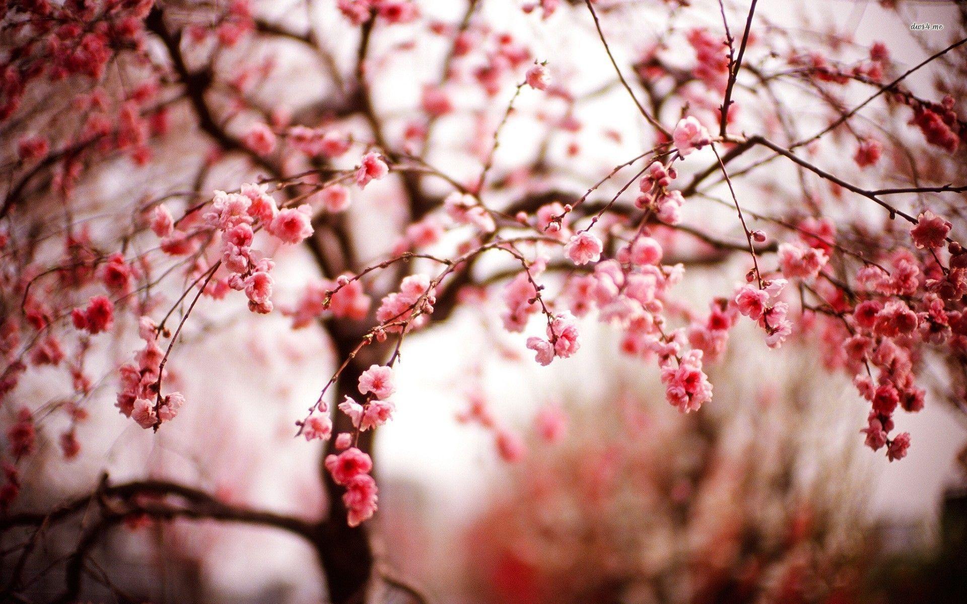 cherry blossom desktop backgrounds wallpaper cave. Black Bedroom Furniture Sets. Home Design Ideas