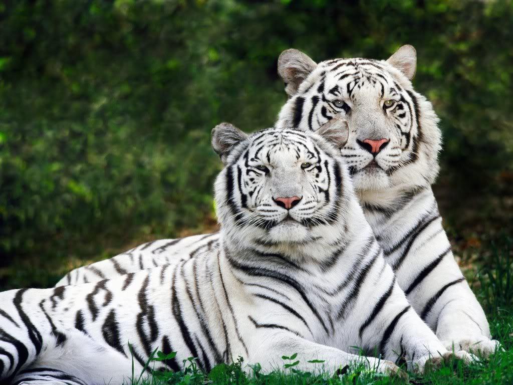 Tiger Wallpaper - Tigers Wallpaper (9981594) - Fanpop