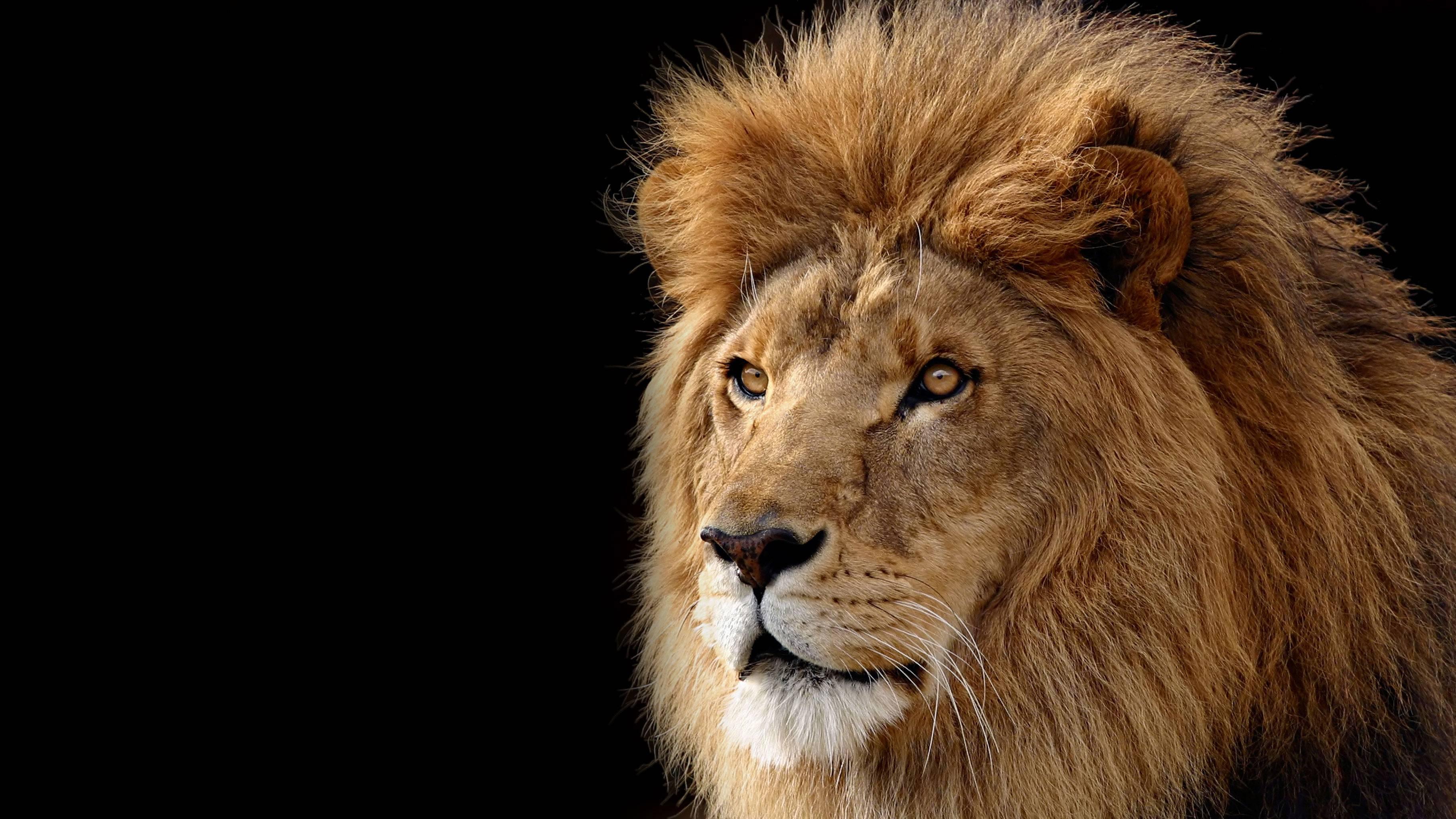 Lion Desktop Backgrounds Wallpaper Cave