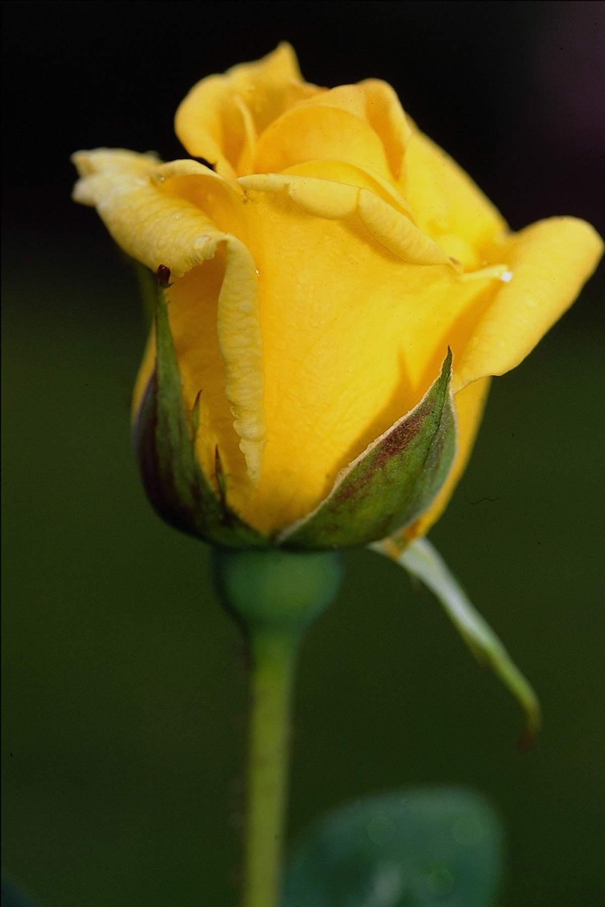wallpaper of yellow roses - photo #21