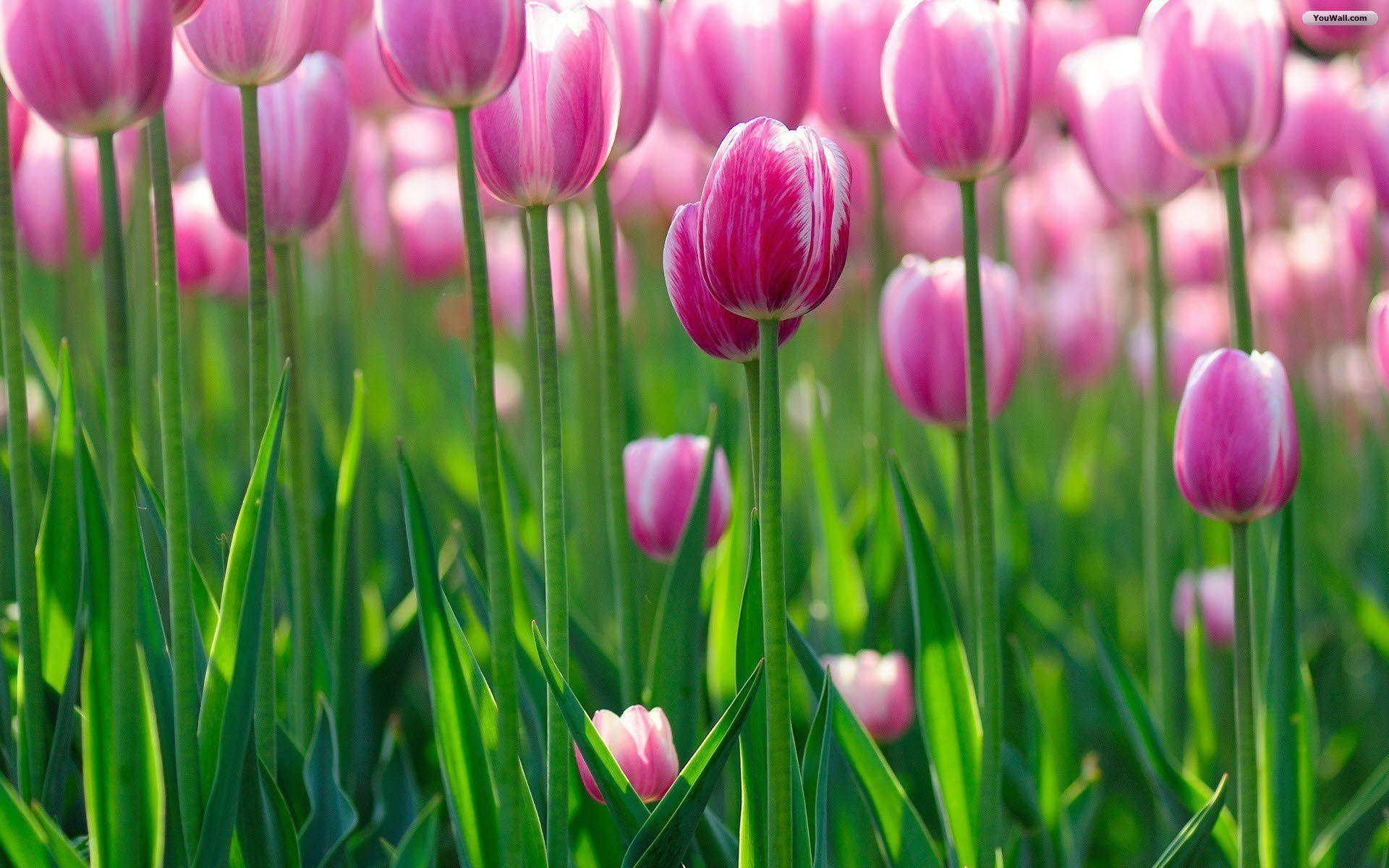 pink tulips wallpapers wallpaper cave