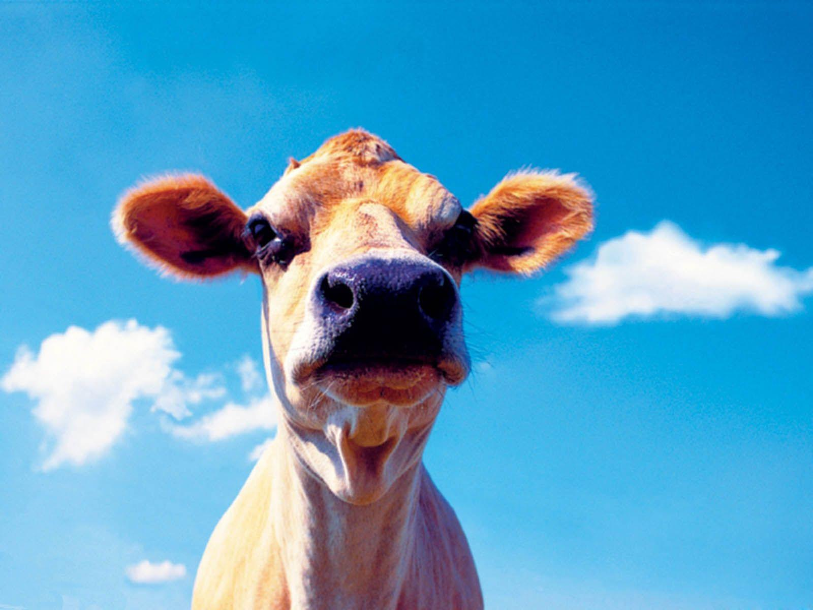 funny cow wallpaper - photo #17