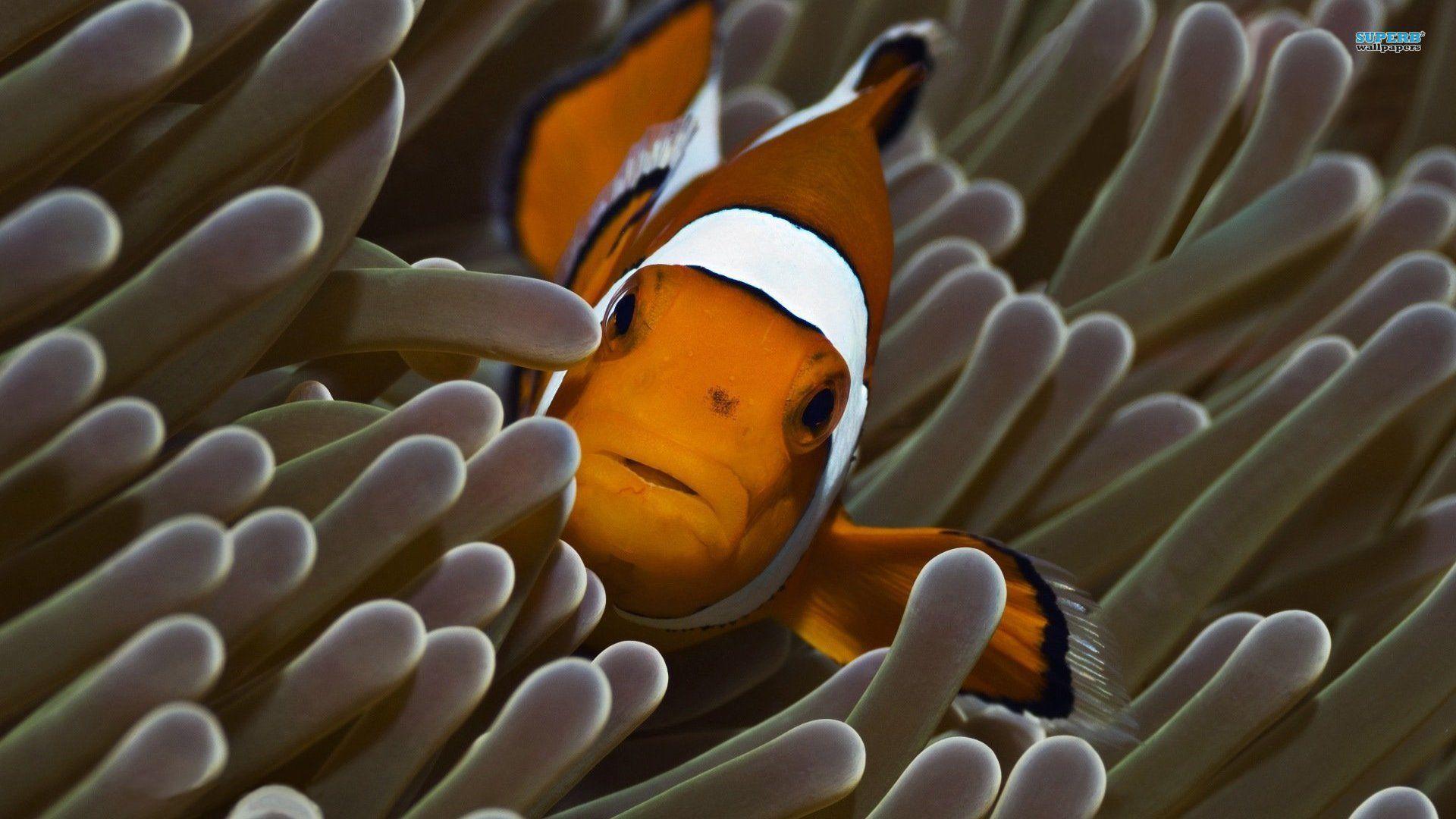 wallpaper clarkii clownfish - photo #22
