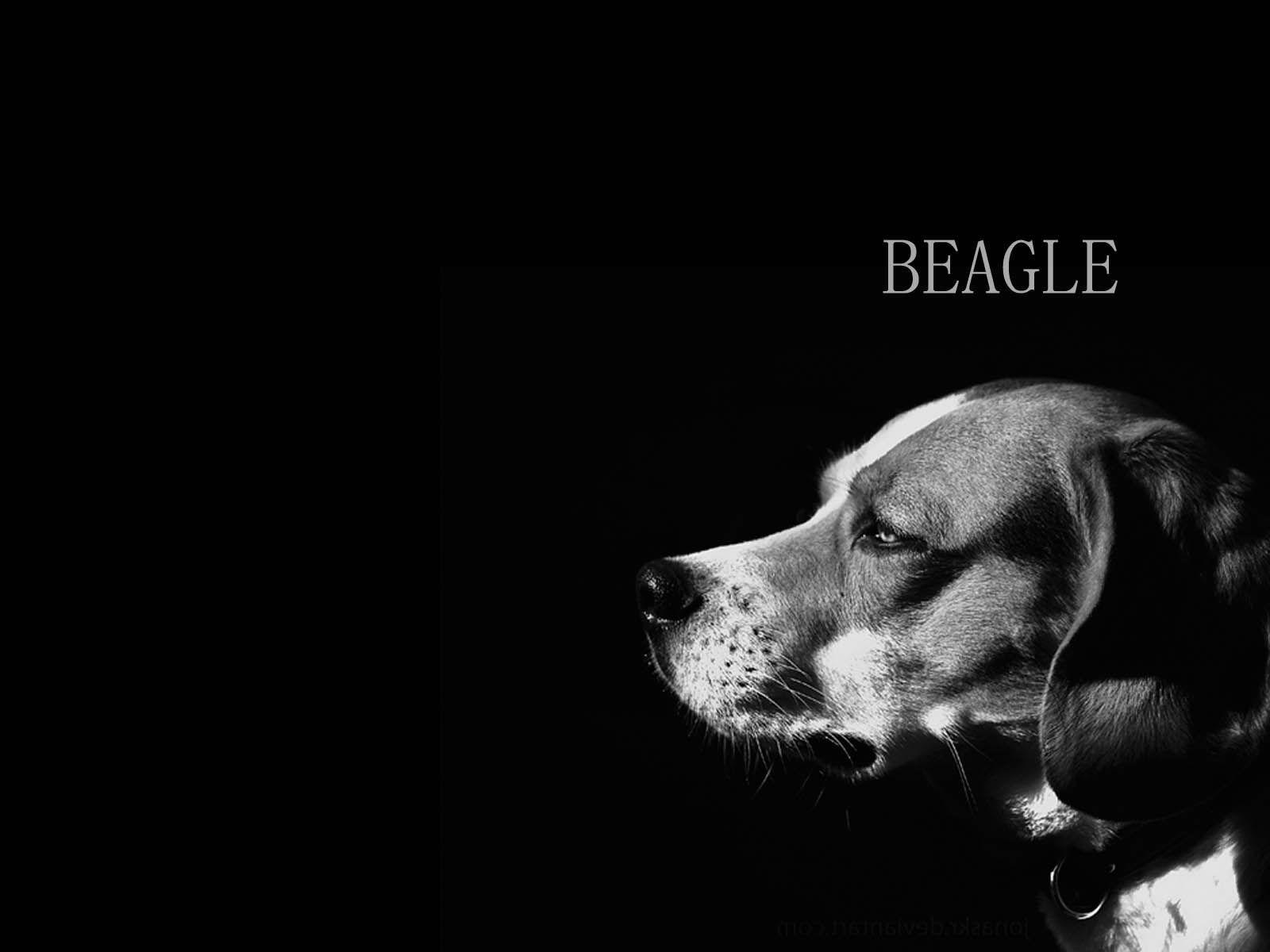 dog beagle guilty wallpapers - photo #34