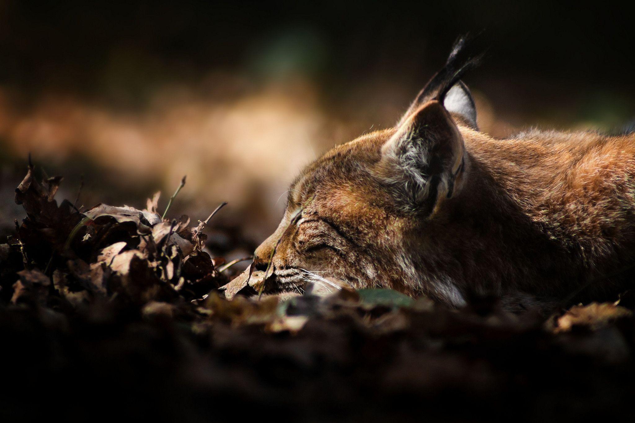 cat lynx autumn foliage - photo #22