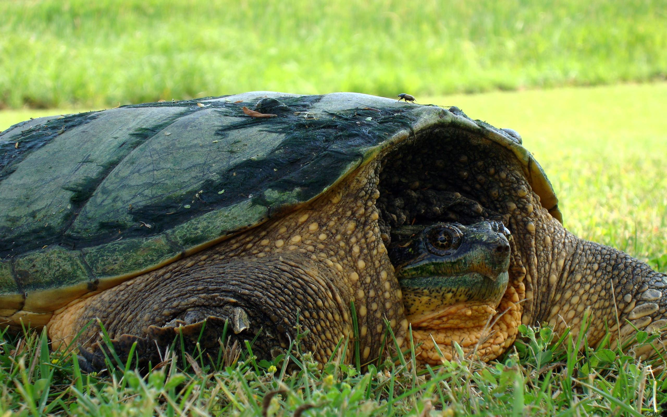 Snapping Turtle HD Wallpapers